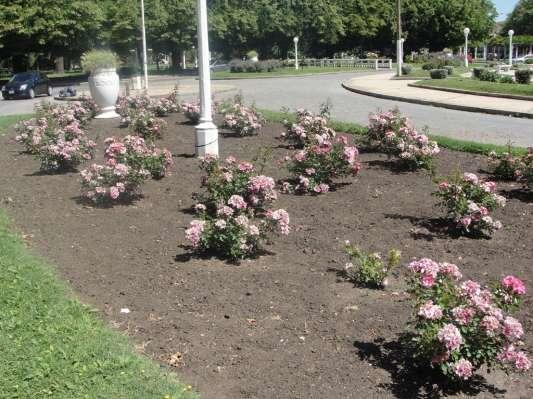 Rosales en plaza Libertad